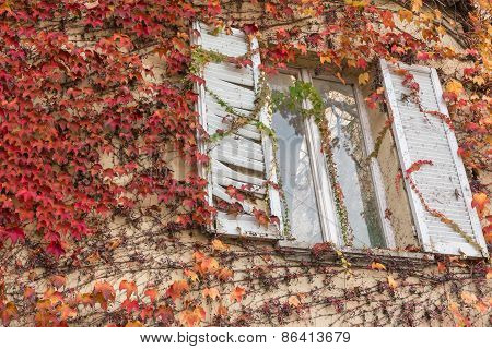 White Window Inside A Vine-covered Wall, Red Vegetation