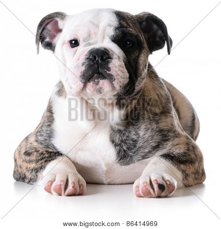 cute puppy - bulldog puppy female laying down on white background
