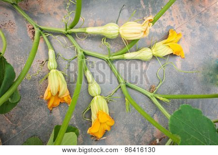 Squash Crop In Flowering Stage