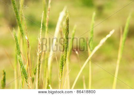 Wheat Field Ears Closeup