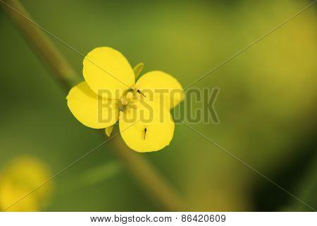 Rape Seed Flower