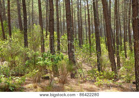 France, Maritime Pines In La Foret Des Landes