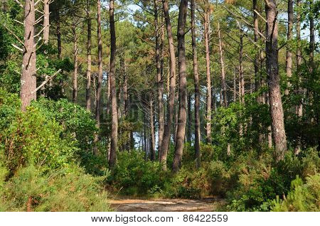 France, Maritime Pines In La Foret Des Landes