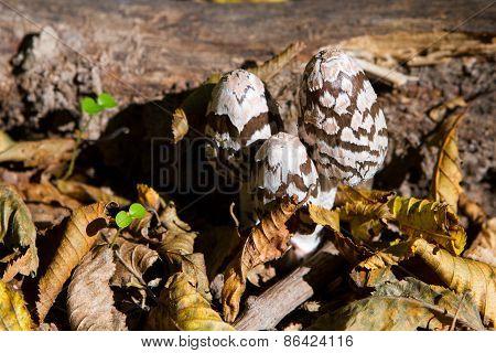 Mushroom A Toadstool