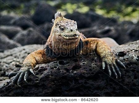 The Marine  Iguana Poses.