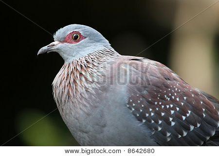 Rock Pigeon Bird