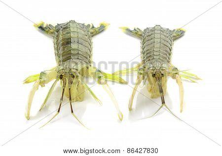 Fresh mantis shrimp on a white background closeup of photo