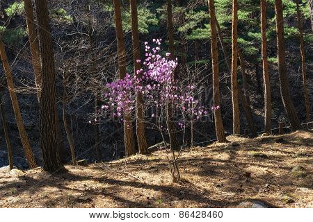 Rhododendron Mucronulatum Among Pine Trees
