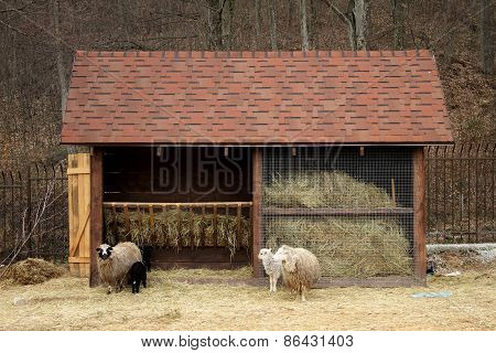 Family of sheeps