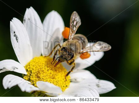 Close up bee with pollen.