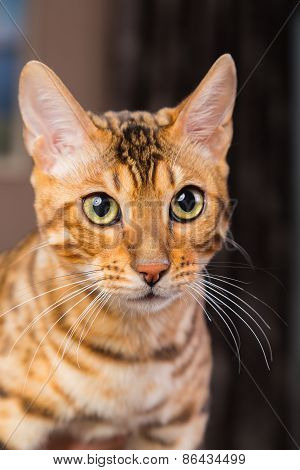 Portrait of bengal cat close-up