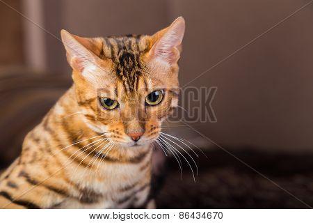 Portrait of bengal cat close-up