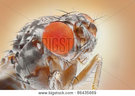 Drosophila melanogaster, the common fruit fly, extreme sharp 25x magnification shot