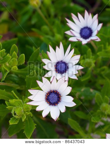 Beautiful Deep White  Chrysanthemum Flower On Green Background