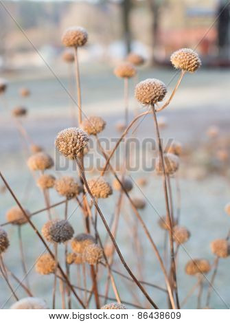 Frosty Seed Capsule