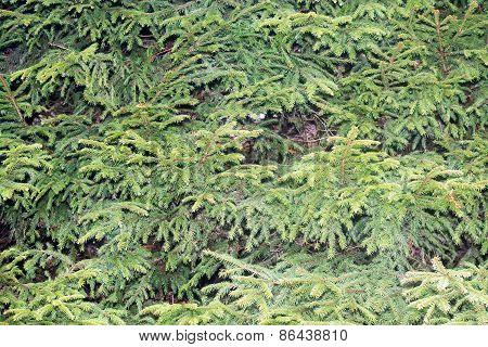 Green Spruce Needles Background