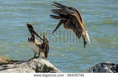 Brown Pelican Coming in Hot