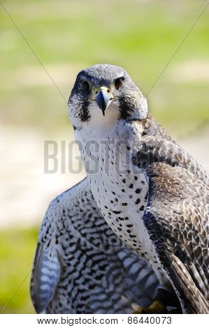 Hybrid Of A Gyr And Peregrine Falcon
