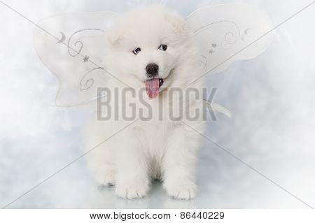 Samoyed Puppy One Month Old