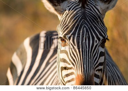 Close-up of a Zebra head and eyes