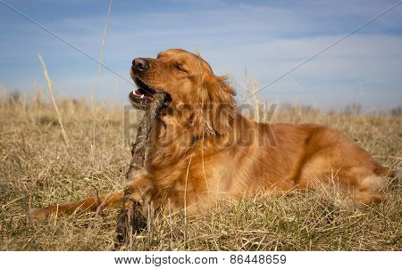 Happy golden retriever chewing bunch in field