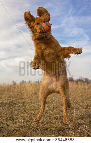 Golden retriever leaping with orange ball