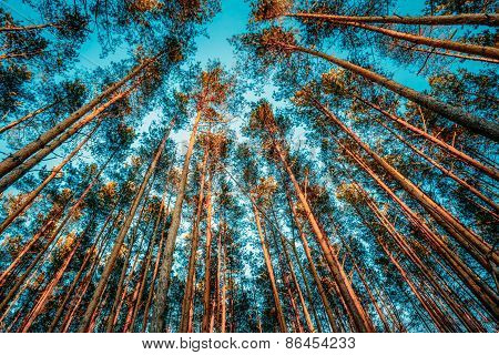 Upper Branches Of Trees In Coniferous Forest