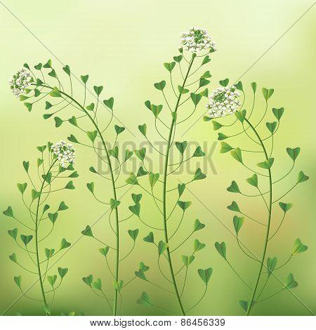 Blindweed Flowers.