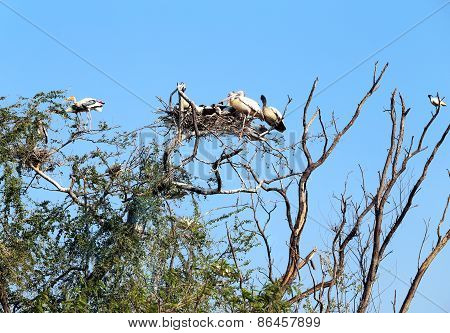 Pelicans sitting