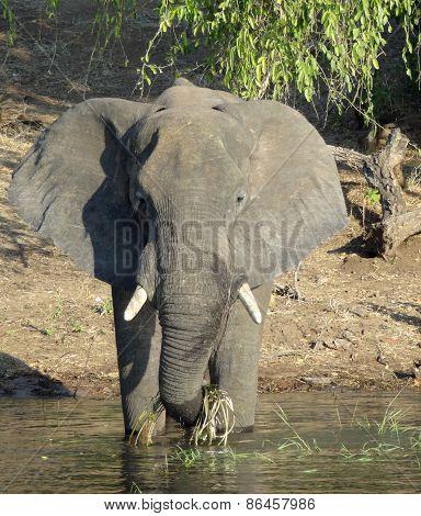Elephant In Botswana