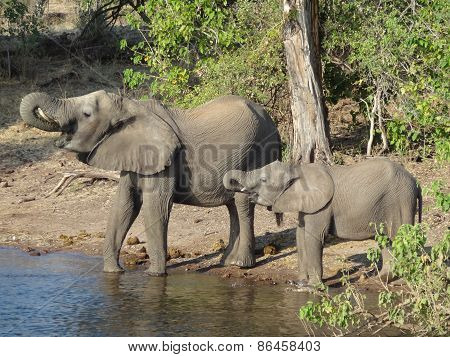 Elephants In Botswana