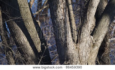 Sugar Maple Tree Trunks in Morning Light with Shadows