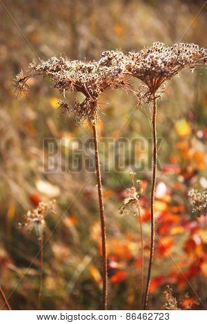 Old Dry Plants