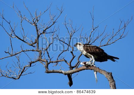 Osprey Eating Fish On A Tree