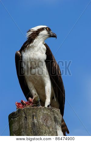 Osprey With A Catch On A Light Pole