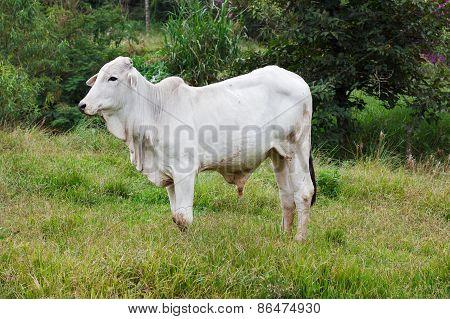 Nellore - Brazilian Beef Cattle Bull In Field