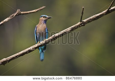 Coracias benghalensis, indian roller on a branch, Bardia, Nepal
