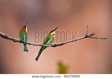 Merops leschenaulti, couple of chestnut headed bee-eater, Thailand