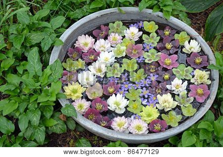 Colorful Hellebores Flowers In Water