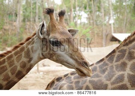 Giraffe profile.