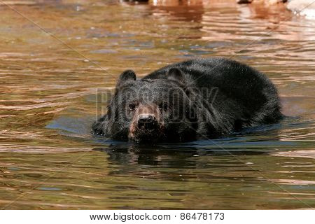 American Black Bear Swimming In The Water