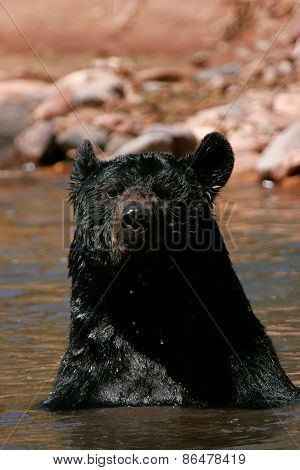 American Black Bear Sitting In A River
