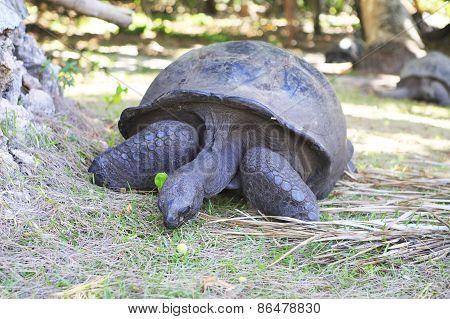 Aldabra giant tortoise eats grass