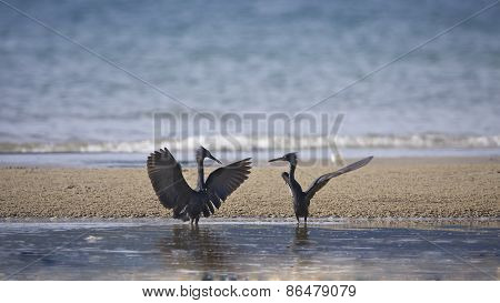Egretta sacra, couple of pacific reef egrets meeting, had Yao, Thailand