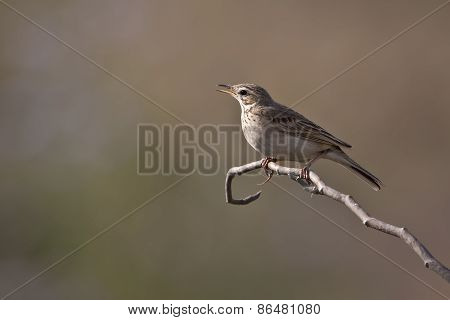 Anthus rufulus,  paddyfield pipit on a branch, Bardia, Nepal