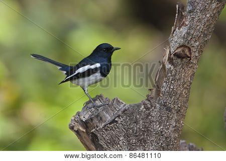 Copsychus saularis, oriental magpie robin on a log at Bardia, Nepal