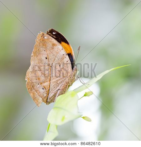 Indian Leaf Butterfly Exactly Same Like A Dried Leaf