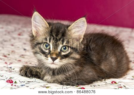 Beautiful Purebred Kitten Lying On The Bed