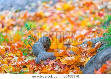 Beautiful Fallen Leaves In The Forest Close Up