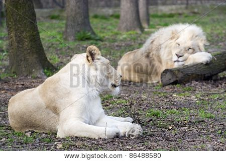After Love - White Lion And Lioness (panthera Leo Kruegeri)